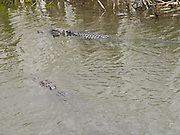 Two alligators swimming away