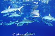 gray reef sharks, Carcharhinus amblyrhynchos, Bikini Atoll, Marshall Islands, Micronesia (Pacific)