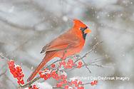 01530-23304 Northern Cardinal (Cardinalis cardinalis )male in Winterberry bush (Ilex verticillata) in winter Marion Co. IL