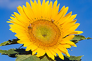 Bee pollinating a flowering sunflower in morning sun near Ryeford, Queensland, Australia <br /> <br /> Editions:- Open Edition Print / Stock Image