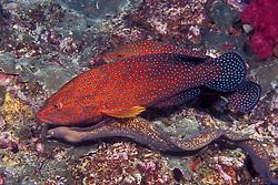 An example of cooperative feeding, two bluespotted grouper, Cephalopholis cyanostigma team up with a white-eyed moray, Siderea thyrsoidea.  Richelieu Rock, Thailand, Andman Sea