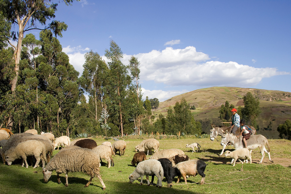 Man on mule herding flock of sheep, Huaripampa (near Huaraz), Peru, South America