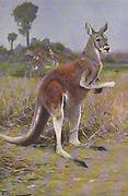 The red kangaroo (Osphranter rufus here as Macropus rufus) is the largest of all kangaroos, the largest terrestrial mammal native to Australia, and the largest extant marsupial. from the book '  Animal portraiture ' by Richard Lydekker, and illustrated by Wilhelm Kuhnert, Published in London by Frederick Warne & Co. in 1912