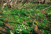 A082P7 Primroses in deciduous woodland