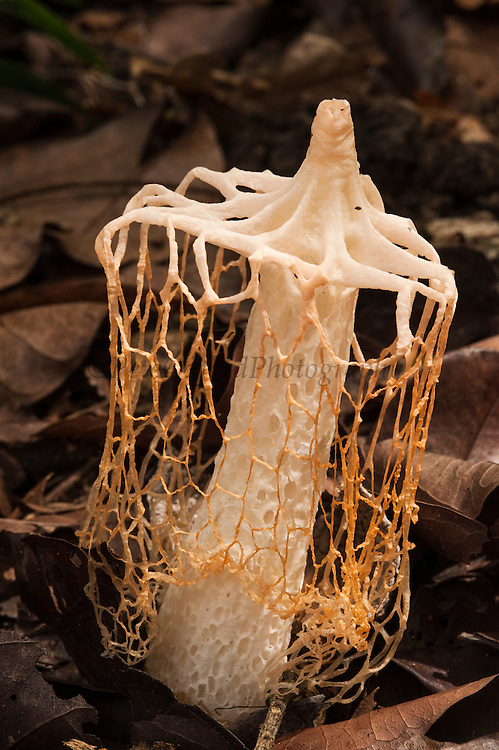 Bridal veil fungus<br /> (Phallus sp.)<br /> Savannah<br /> Rupununi<br /> GUYANA. South America<br /> The common name of this species is based on the net or indusium, which is attached below the enlarged conical head. The net varies in length, usually white but may be yellow or orange. Has a fetid smell which attracts flies.