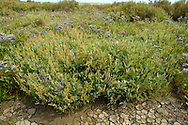 Saltmarsh with Sea Lavender - Limonium vulgare. Height to 30cm. Distinctive, hairless perennial that is woody at the base. Entirely restricted to saltmarshes and tolerates tidal inundation. FLOWERS are 6-7mm long and pinkish lilac; they are borne in branched, flat-topped heads on arching sprays (Jul-Sep). FRUITS are capsules. LEAVES are spoon-shaped with long stalks. STATUS-Widespread and locally common in S and SE England but scarce or absent elsewhere.