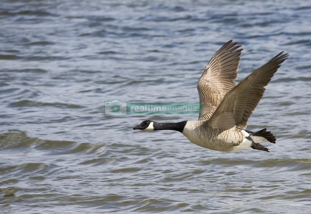 July 21, 2019 - Goose Flying Over Water (Credit Image: © John Short/Design Pics via ZUMA Wire)