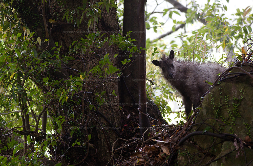 A young Japanese Serow in the forest on Mount Oyama, Kanagawa, Japan. Tuesday, May 6th 2014