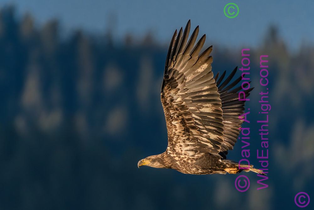 Juvenile bald eagle in flight with mountain forest in the background, Grand Teton National Park, © David A. Ponton