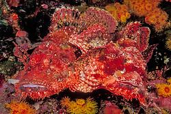 A pair of Tassled Scorpionfish, Scorpaenopsis barbatus, snuggle among orange cup corals. Black Rock; Mergui Archipelago; Myanmar, Andaman Sea