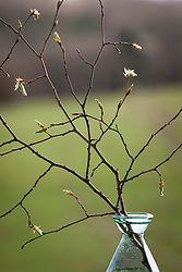Beech forced into early leaf by being brought indoors in spring