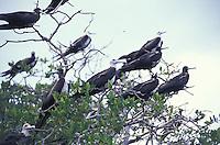 Gaviotas posadas en manglar, Los Roques, Estado Falcon, Venezuela.