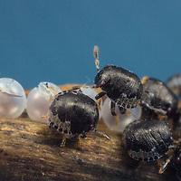 Hemiptera - true bugs, cicadas, hoppers