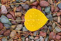 Rain drops on fallen Aspen leaves (Populus tremuloides), Glacier National Park Montana USA