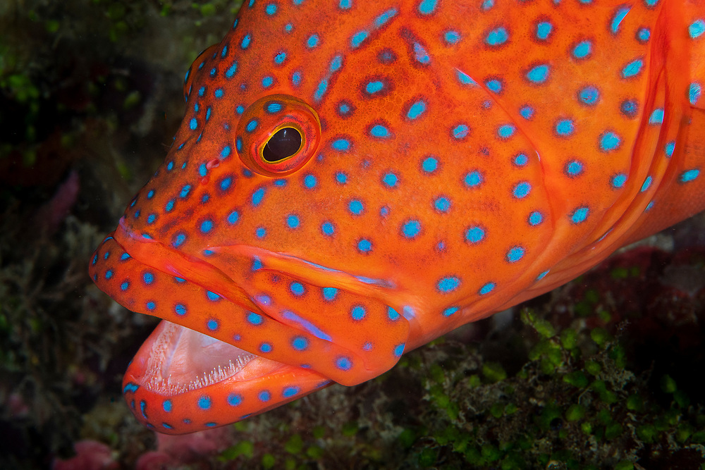 Coral grouper, Cephalopholis miniata, or coral hind, miniatus grouper, miniata grouper, coral or blue-spot rockcod, vermilion seabass, Kenting National Park located on the Hengchun Peninsula of Pingtung County, Taiwan