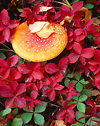 Fly agaric, Amanita muscaria, the toadstool of fairy tales, growing among autumn leaves of bunchberry, Cornus canadensis, Matanuska Valley, Alaska.