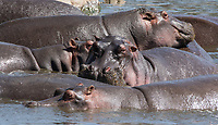 A group of Hippopotamuses, Hippopotamus amphibius, crowd together in a pond in Serengeti National Park, Tanzania