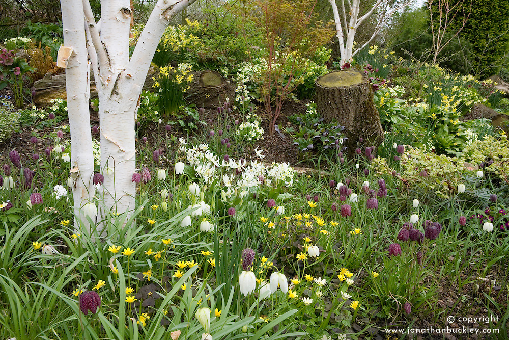 Fritillaria meleagris and Erythronium californicum 'White Beauty' growing with hellebores and daffodils in John Massey's dell garden. White trunks of Betula utilis var. jacquemontii - silver birch