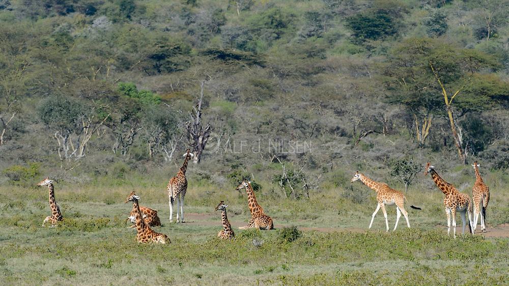 Group of the critically endangered Rothchild Giraffe (Giraffa camelopardalis rothschildi) from Lake Nakuru, Kenya.