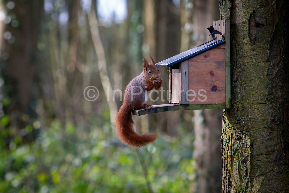 A Red Squirrel collecting nuts from a feeding station attached to the side of a tree on the edge of the Presaddfed Estate, the home of Anglesey Shooting School, on the 22nd of February 2020,  Bodedern, Anglesey. Wales.  Anglesey is a haven for the native Red Squirrel, Anglesey is an island and has become a conservation area for the re-introduction of red squirrels, any grey squirrel found on the island is caught and removed.