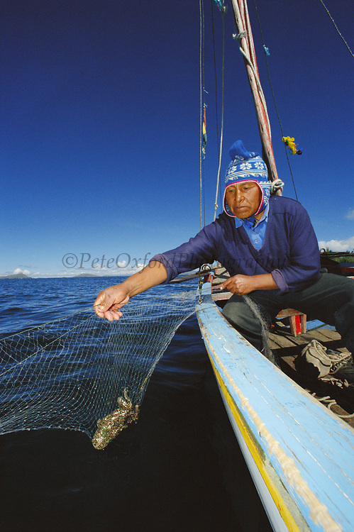 Giant Titicaca Frog in Fishing Net<br />Telmatobius culeus<br />Lake Titicaca. Border BOLIVIA & PERU<br />Totora Reed boat in background