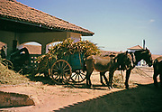Sugar cane and fine grass loaded on cart for cattle feed, Fazenda Sant' Anna, Campinas, Brazil, South America 1962