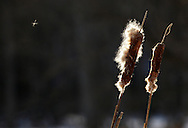 Chester, NY - Cattails at Goose Pond Mountain State Park on Jan. 9, 2010.