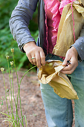 Collecting seeds from Fritillaria meleagris. Snake's head fritillary