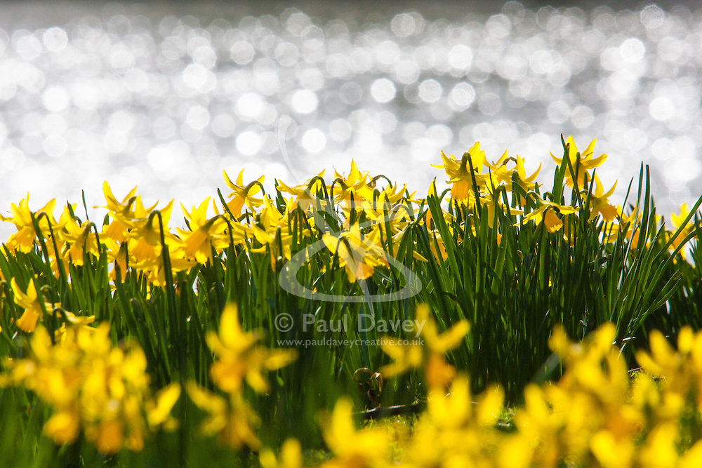 London, March 6th 2015. Londoners and tourists enjoy the warm sunshine in St James's Park as daffodils bloom, heralding the approach of spring. PICTURED: Daffodils in the sunshine as the water of the lake sparkles in the background.
