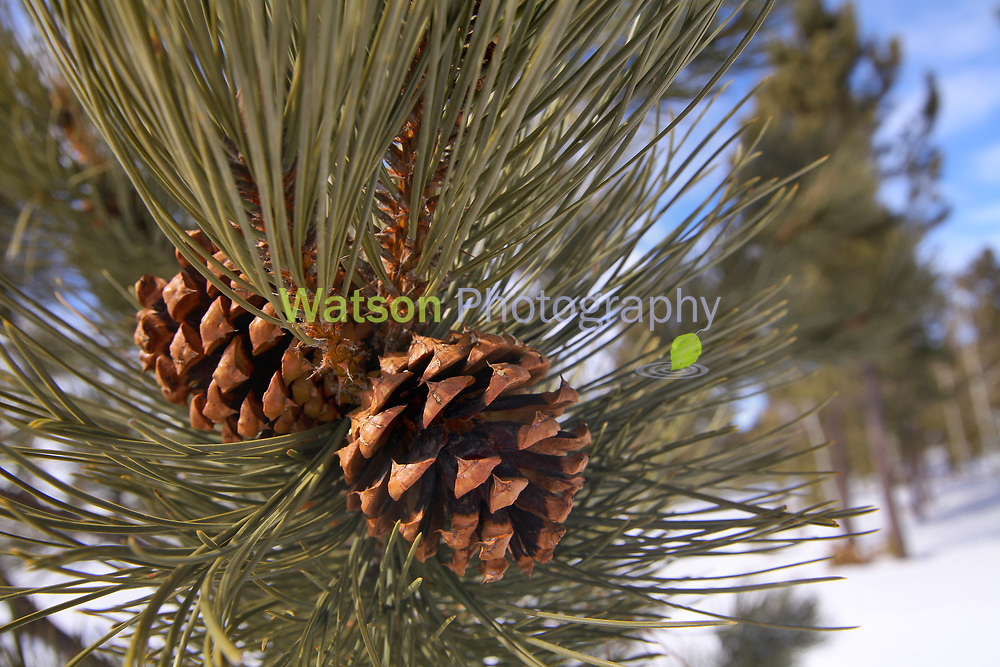 Pine Cones in the Winter Sun