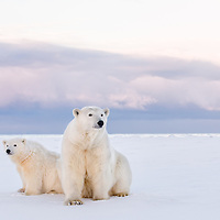 A mother  polar bear and her cub of the year sit in evening light along the shore of arctic Alaska.