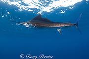 Atlantic sailfish ( Istiophorus albicans or Istiophorus platypterus ), Yucatan Peninsula, Mexico ( Caribbean Sea ) (de)