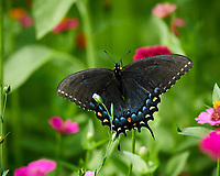 Spicebush Swallowtail butterfly feeding on Zinnia flower. Image taken with a Nikon D850 camera and 100-500 mm f/5.6 VR lens