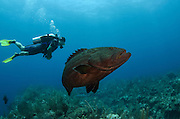 Black Grouper (Mycteroperca bonaci) & diver<br /> Hol Chan Marine Reserve<br /> near Ambergris Caye and Caye Caulker<br /> Belize Barrier Reef, second largest barrier reef in the world<br /> Belize<br /> Central America
