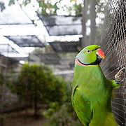 An Echo Parakeet, Psittacula eques, in the aviaries run by Mauritius National Parks and Conservation Service in Black River. The Echo Parakeet was down to less than 10 individuals remaining in the wild in the 1980s. Now, thanks to innovative captive breeding and recovery efforts, the wild population exceeds 500 individuals. Photographed in captivity (a bird that is part of a captive breeding program).