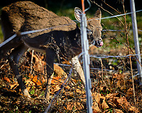 Young Deer inside the Electric Fence. Image taken with a Fuji X-H1 camera and 200 mm f/2 camera + 1.4x teleconverter (ISO 200, 280 mm, f/2.8, 1/2400 sec).