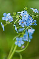 This non-native, naturalized beautiful member of the borage family can be near water throughout most of the states and provinces of North America. These blue forget-me-nots were photographed in Central Montana.