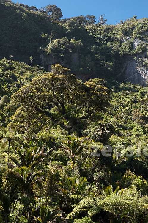 A large Podocarp tree rising from the Nikau-dominated forest in the Pororari River Gorge in the West Coast of New Zealands South Island.
