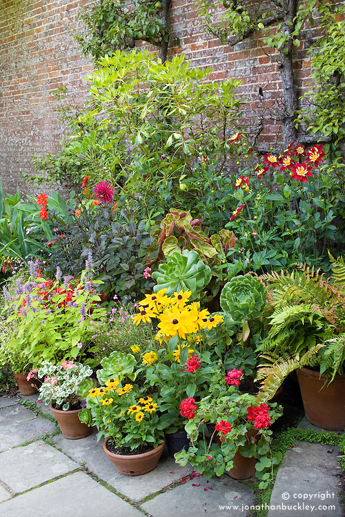 Collection of pots at Great Dixter including Pseudopanex lessonii 'Gold Splash', dahlias, rudbeckias and pelargoniums