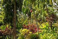 Ravenal madagascarensis (Travelers palm) surrounded by colourful Cordyline foliage in Sunnyside Garden, St. George's Grenada, West Indies, Caribbean