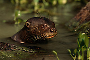 Giant Otter<br />