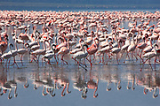 Multitudes of flamingos at Lake Nakuro, Kenya, Africa