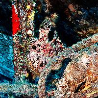 Frogfish Pair, Carthaginian, Maui Hawaii