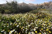 white Chrysanthemum bush in the Negev desert, Israel