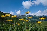 Arnica; Arnica montana, area around Grauspitz, Lichtenstein