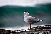 """larus novaehollandiae, silver gull. ....I've been slagged off by folk in New Zealand and Australia for photographing such nondescript and common species as the red and silver gulls, and the ibis.....The truth is, I'm not someone who lusts after the uncommon - I think there's a greater challenge in illustrating the beauty in """"everyday"""" animals."""