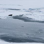 Bearded Seal (Erignathus barbatus) adult lies next to an open water lead on the Beaufort Sea, Alaska.