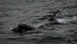 HERMANUS (SOUTH AFRICA), Oct. 2, 2015 (Xinhua) -- Photo taken on Oct. 2, 2015 shows two southern right whales and dolphins during the Hermanus Whale Festival in Hermanus, South Africa, on Oct. 2, 2015. The annual Hermanus Whale Festival kicked off here Friday, celebrating the returning of the southern right whales to this bay during the calving and mating season. More than 100,000 visitors are expected to come to Hermanus, which is known as the best land-based whale watching destination in the world. (Xinhua/Zhai Jianlan) (Credit Image: © Zhai Jianlan/Xinhua via ZUMA Wire)
