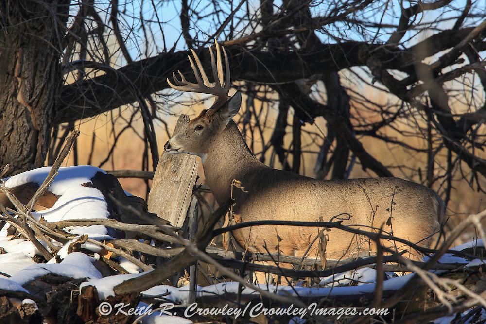 Whitetail buck in winter habitat