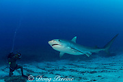 tiger shark, Galeocerdo cuvier, and diver, Bahamas ( Western Atlantic Ocean ) MR 302